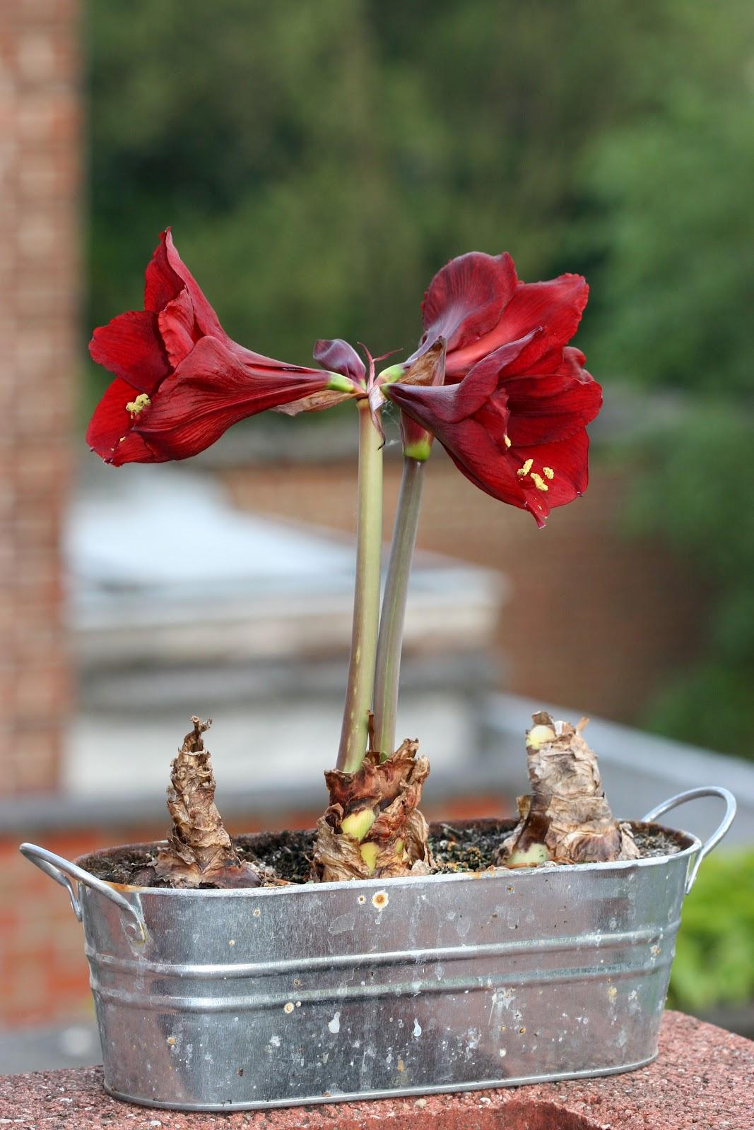Xx garden amaryllis for Amaryllis exterieur