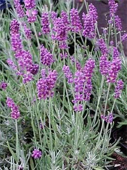 getrockneten Lavendel