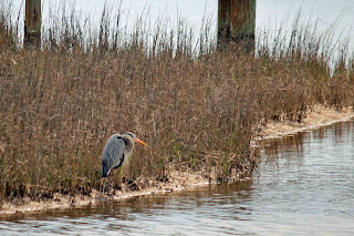 Blue Heron Fishing at big Lagoon State Park, Pensacola, FL