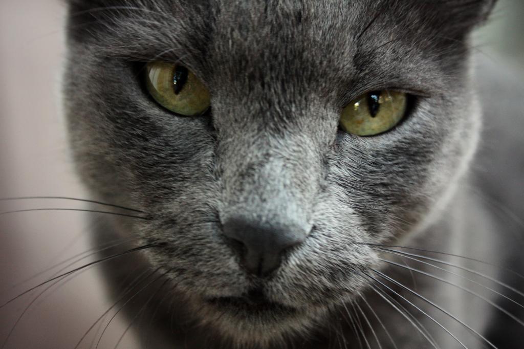 Русская голубая кошка 4