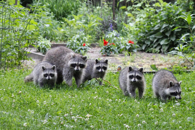 Raccoon family in backyard