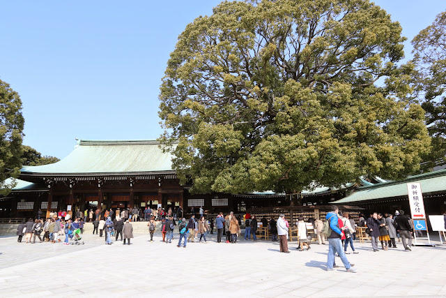 An amazing view of a huge rounded tree beside the crowded Shrine Memorial Hall building at Meiji Shrine in Tokyo, Japan