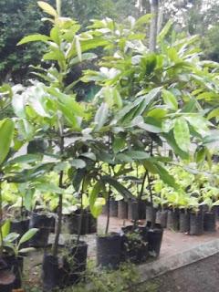 jual-bibit-tanaman-bisbul.jpg