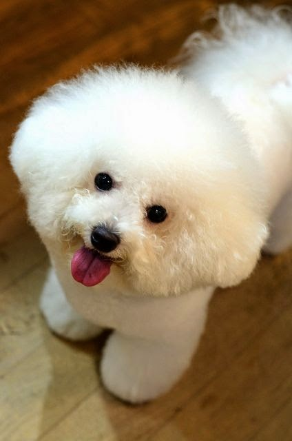 See more Bichon July.12.2013 | Flickr - Photo Sharing! http://cutepuppyanddog.blogspot.com/ supply pet hair dye,pet hair chalk,pet perfume,pet shampoo,spa.... http://cutepuppyanddog.blogspot.com/
