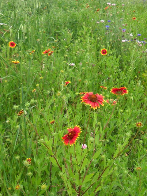 Firewheel or Indian Blanket wildflowers at White Rock Lake, Dallas, TX
