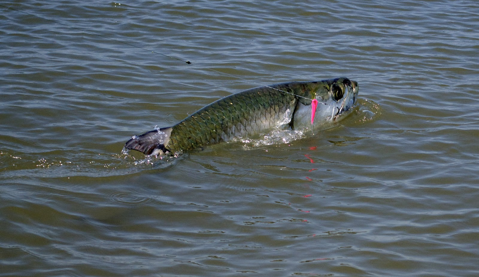 Carolina guide service winyah bay tarpon fishing report for Fishing in south carolina
