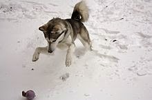 Siberian Husky Reviews and Pictures, Photos