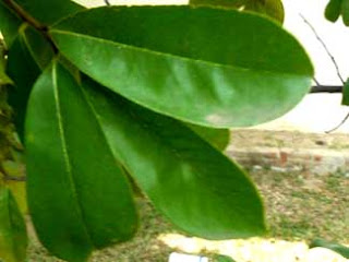soursop leaf