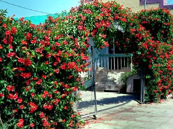 Trepadoras colecci n de hojas y flores for Plantas arbustos de hoja perenne