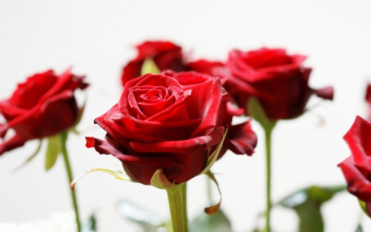 Red Rose Widescreen HD Wallpaper 11