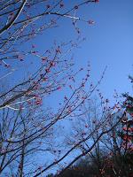 spring maple tree Michigan