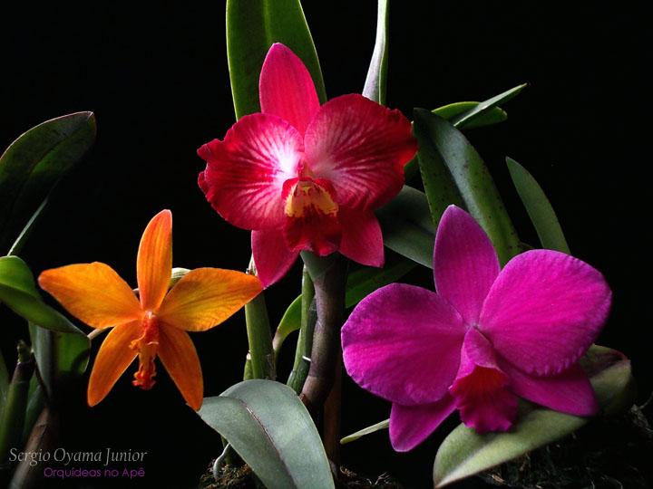 Mini-orquídeas no apê