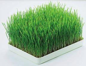 Galeri Wheatgrass