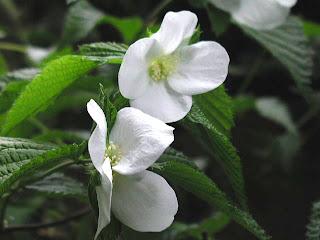 白花のヤマブキ