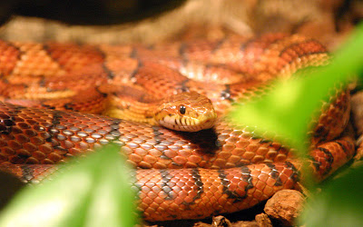 Red_Rat_snake_Kornnatter