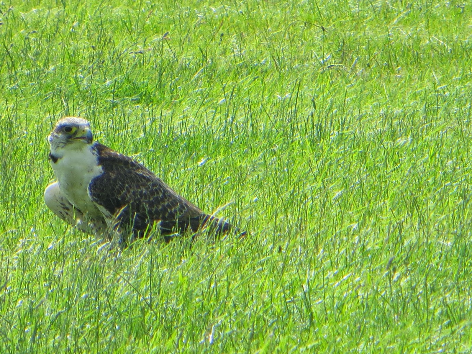 Burghley County Show birds of prey