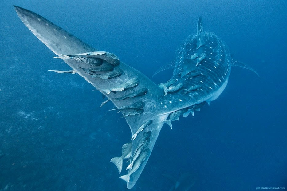 50 Powerful Photos Capture Extraordinary Moments In The Wild - In an amazing display, fish hitch a ride on the back of a whale shark.
