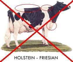 Holstein-Freisian Breed