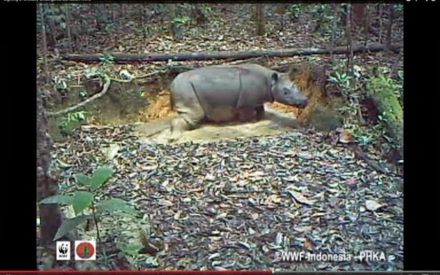 Extremely endangered Sumatran Rhino caught on video for the first time in Kalimantan