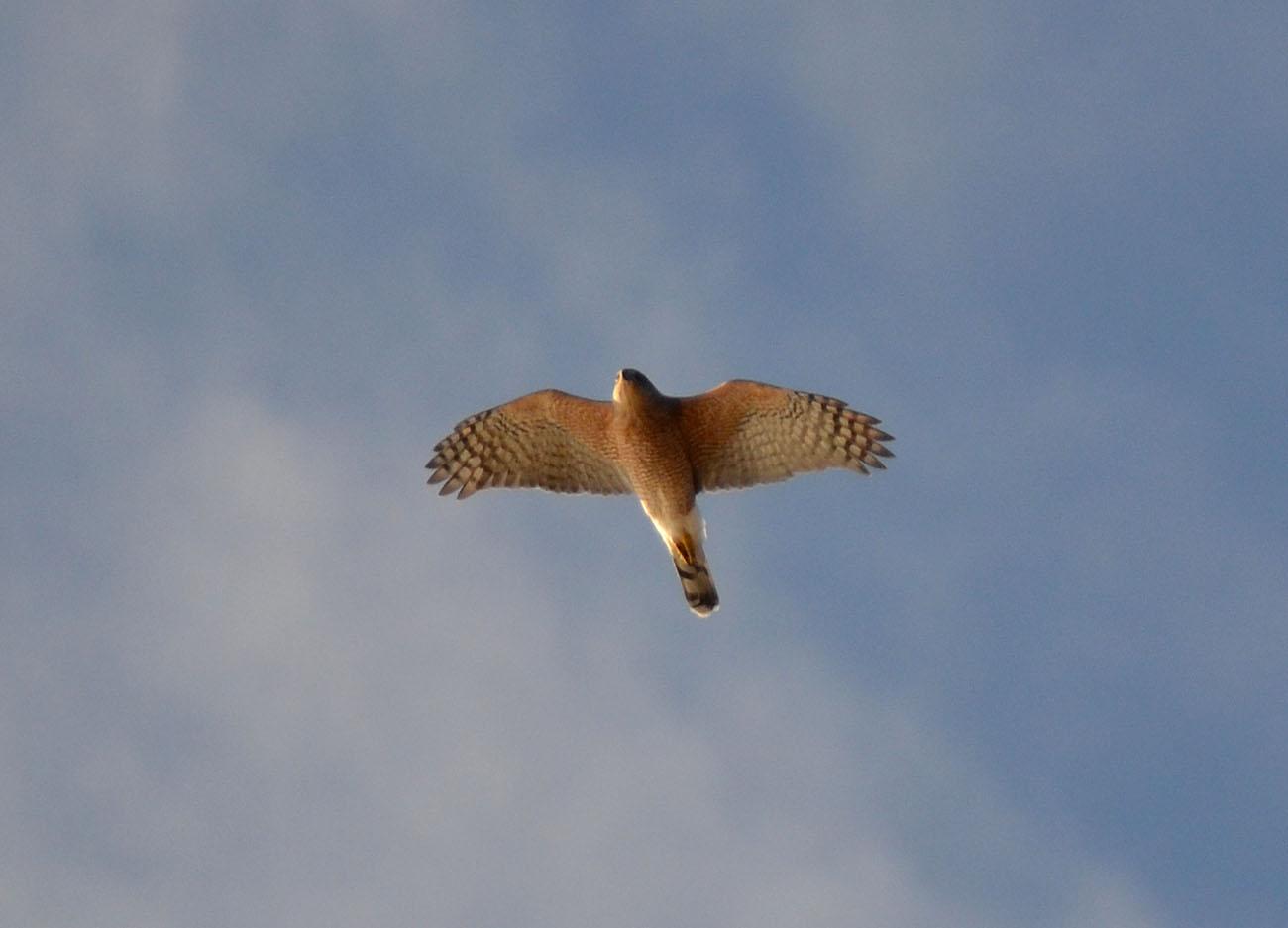 cooper hawk mexico