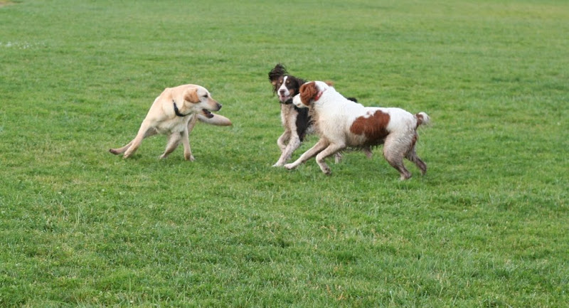 cabana in  mid-turn on a green field, looking back at tri-colored english springer spaniel and white brittany spaniel with reddish brown spots