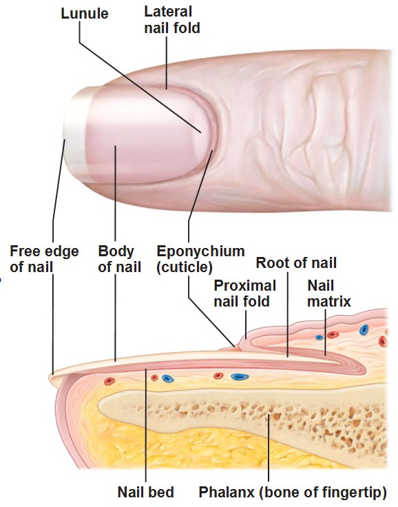 Livin The POSH Life Nail Anatomy