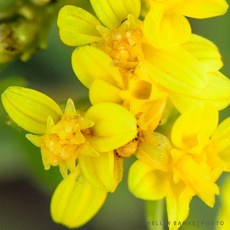 Prairie wildflowers broomweed tiny yellow flowers spiky leaves broomweed tiny yellow flowers spiky leaves mightylinksfo Gallery