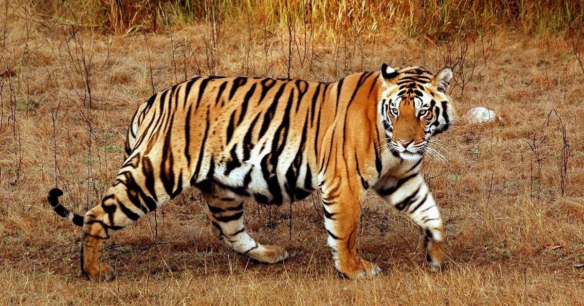 Indian Tiger Unseen Free Wallpaper Actresshdwallpapers