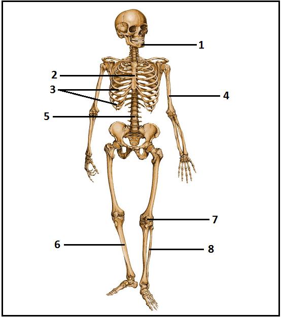 Ci ncia na pele exerc cios identificando ossos do for O osso esterno e dividido em