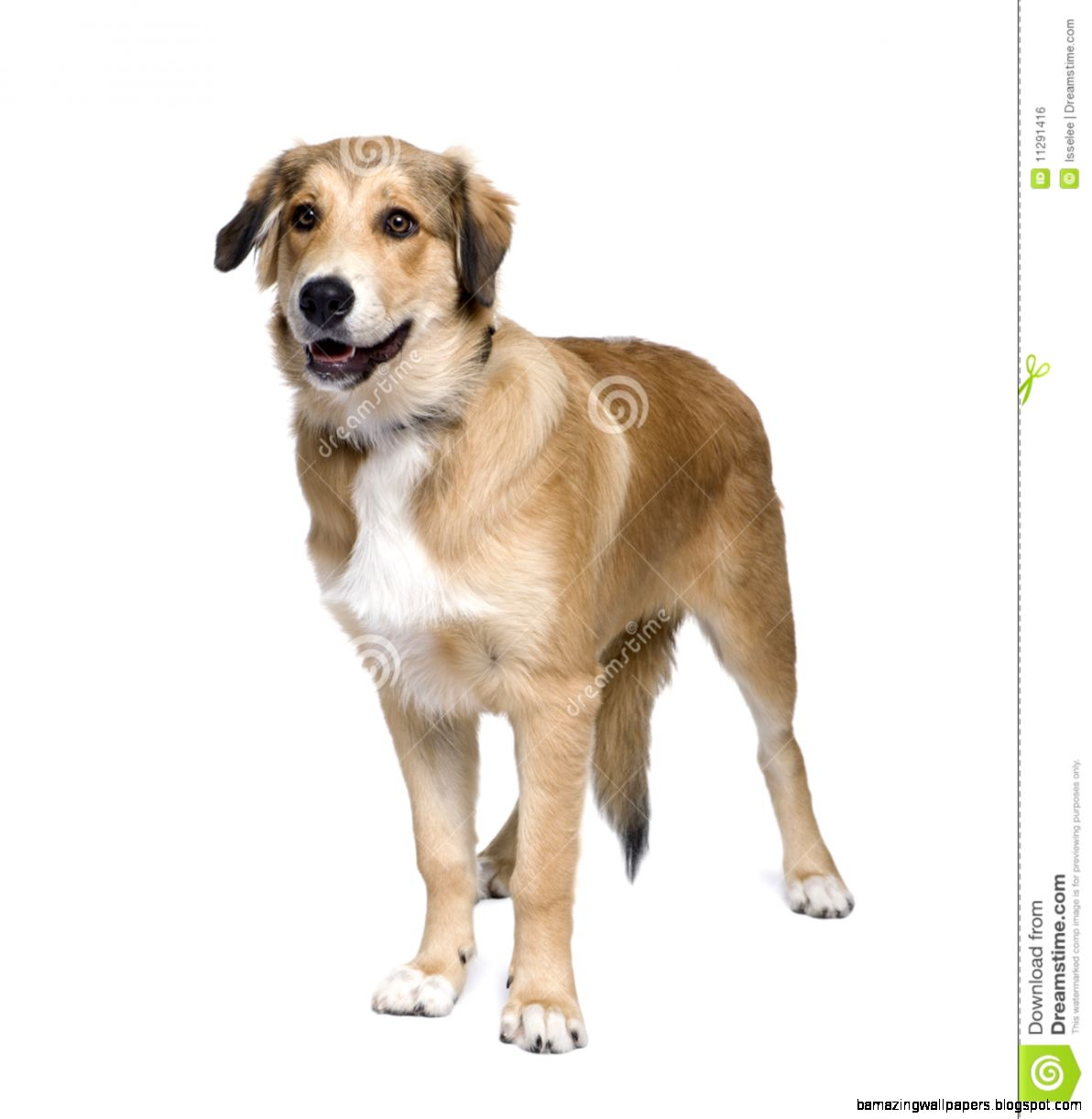 Mixed breed Dog In Front Of White Background Stock Photo   Image