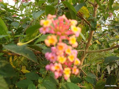 Kongini Poovu/Flower