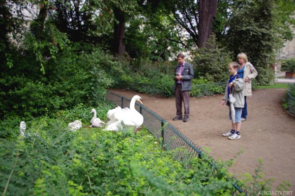 aliciasivert, alicia sivertsson, rouen, france, frankrike, swan, swans, family, svan, svanar, svanfamilj, park