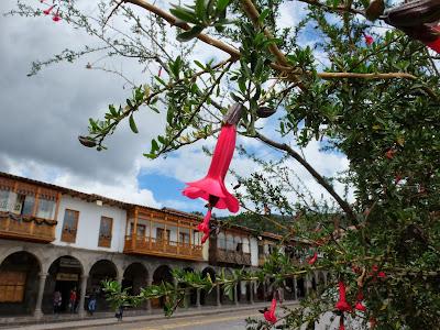 Cantuta - Cantua buxifolia – in Plaza de Armas, Cusco