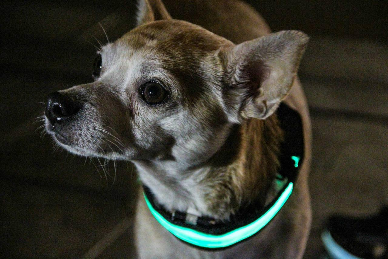 LED dog collar to keep your dog safe