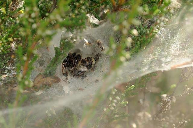 Vrijwel alle spinnen zetten hun eieren af in eengesponnen cocon of ...: gonnievandeschans.blogspot.com/2012/09/spinnenplaag.html
