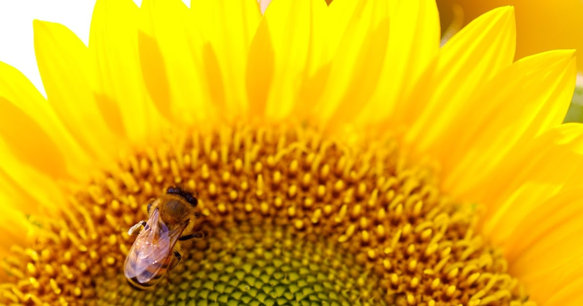 Baixar Imagem: Abelha na flor