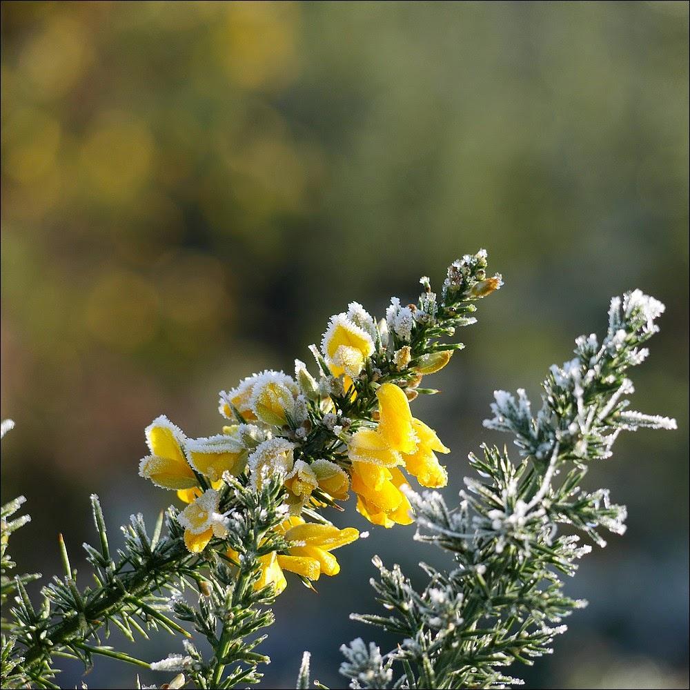 Même en hiver, il y a toujours quelque part un petit ajonc fleuri dans les  landes de Cojoux