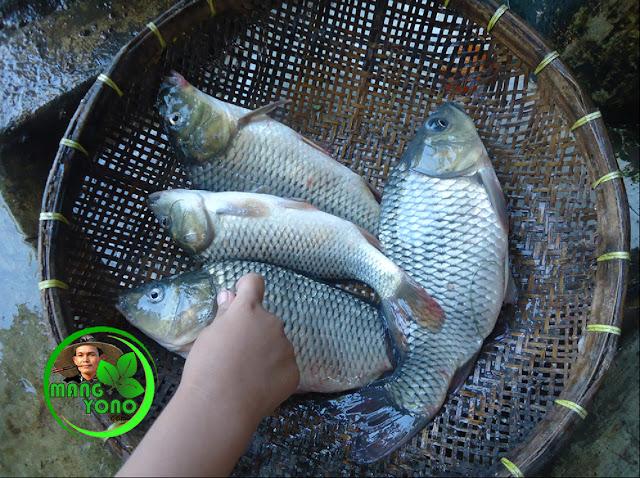 Cara membuat umpan jitu untuk mancing ikan Mas dengan Sarden