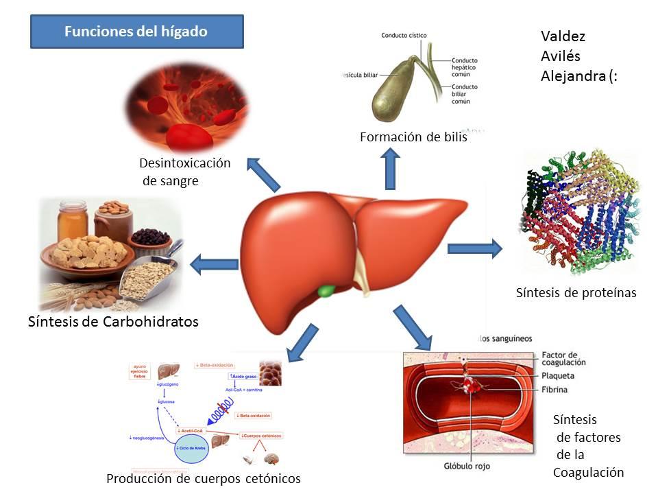 Descubriendo el universo de la fisiología... : Funciones del hígado.