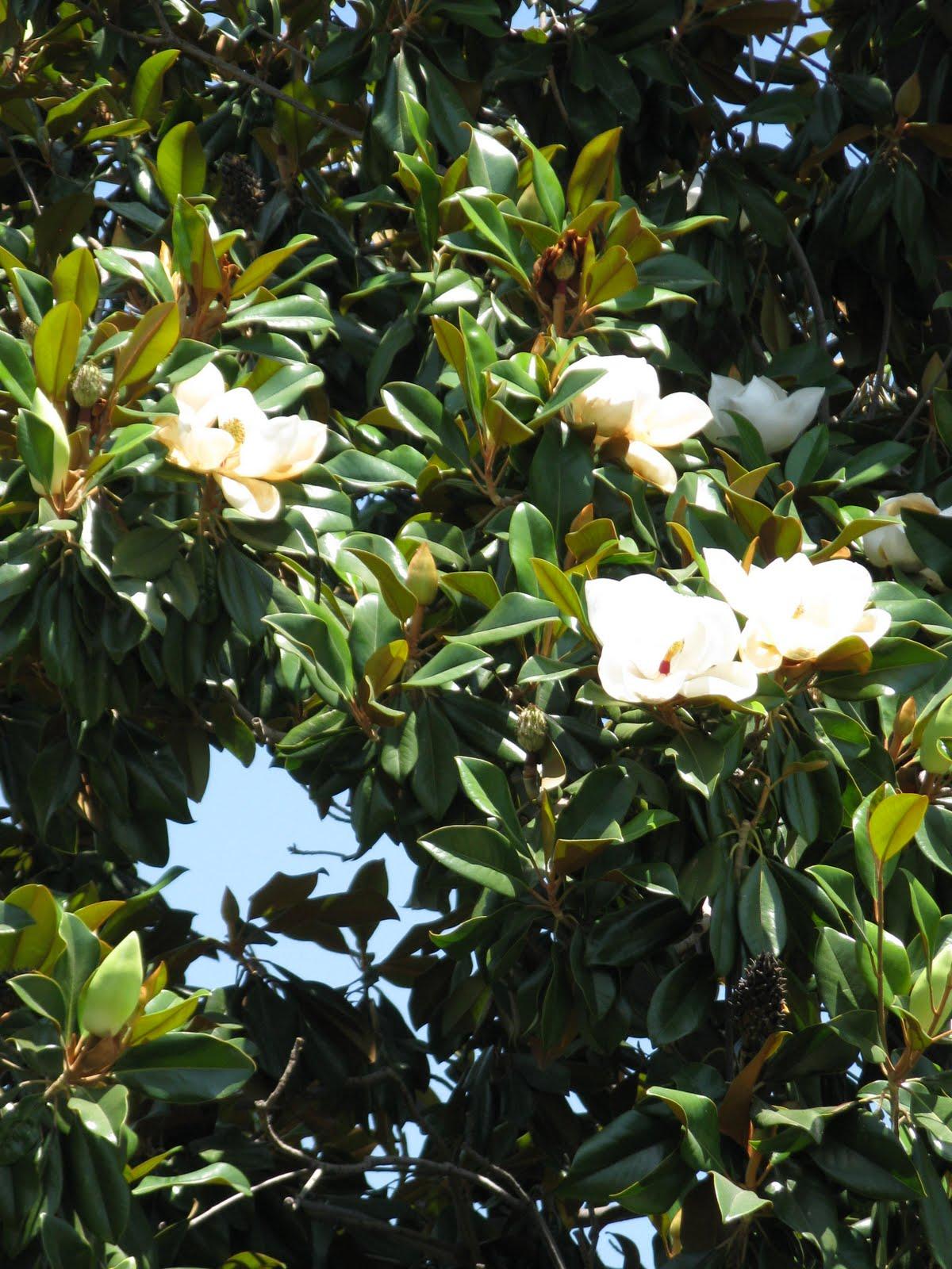 Linsueray magnolia tree oh so pretty for Magnolia tree