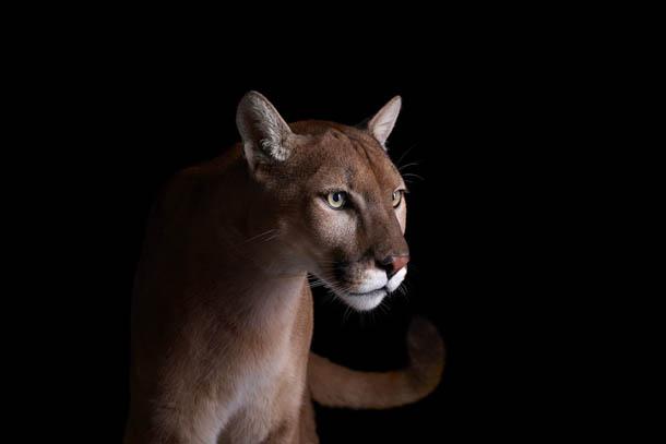 fotografia de animais selvagens- Brad Wilson