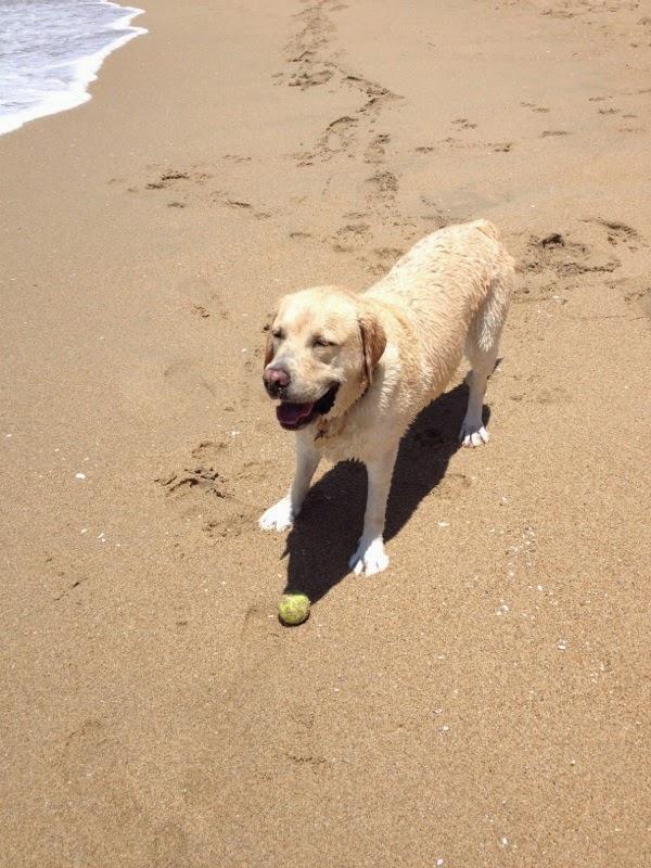 Tired Labrador Huntington Dog Beach