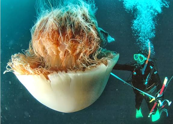 Tasmanian giant jellyfish - photo#1