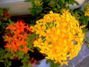 Ixora Amarela/Vermelha (Orig.Índia Oriental e Malásia)