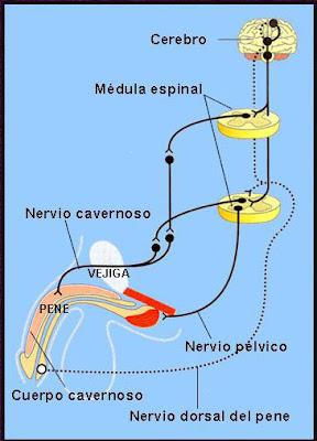 Esquema del mecanismo neurológico de la erección