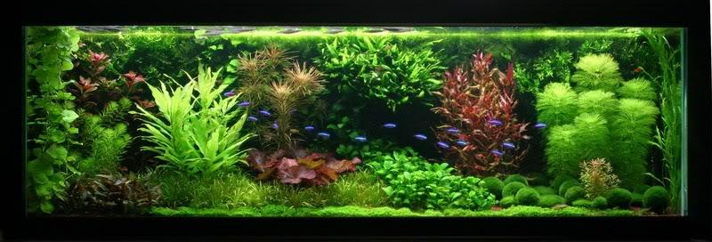 Jdb acuario holandes dutch aquarium for Plantas para estanques de peces