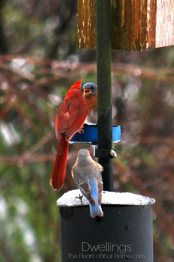 bluebirds and cardinal