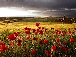 Amapolas...que llenan los campos...