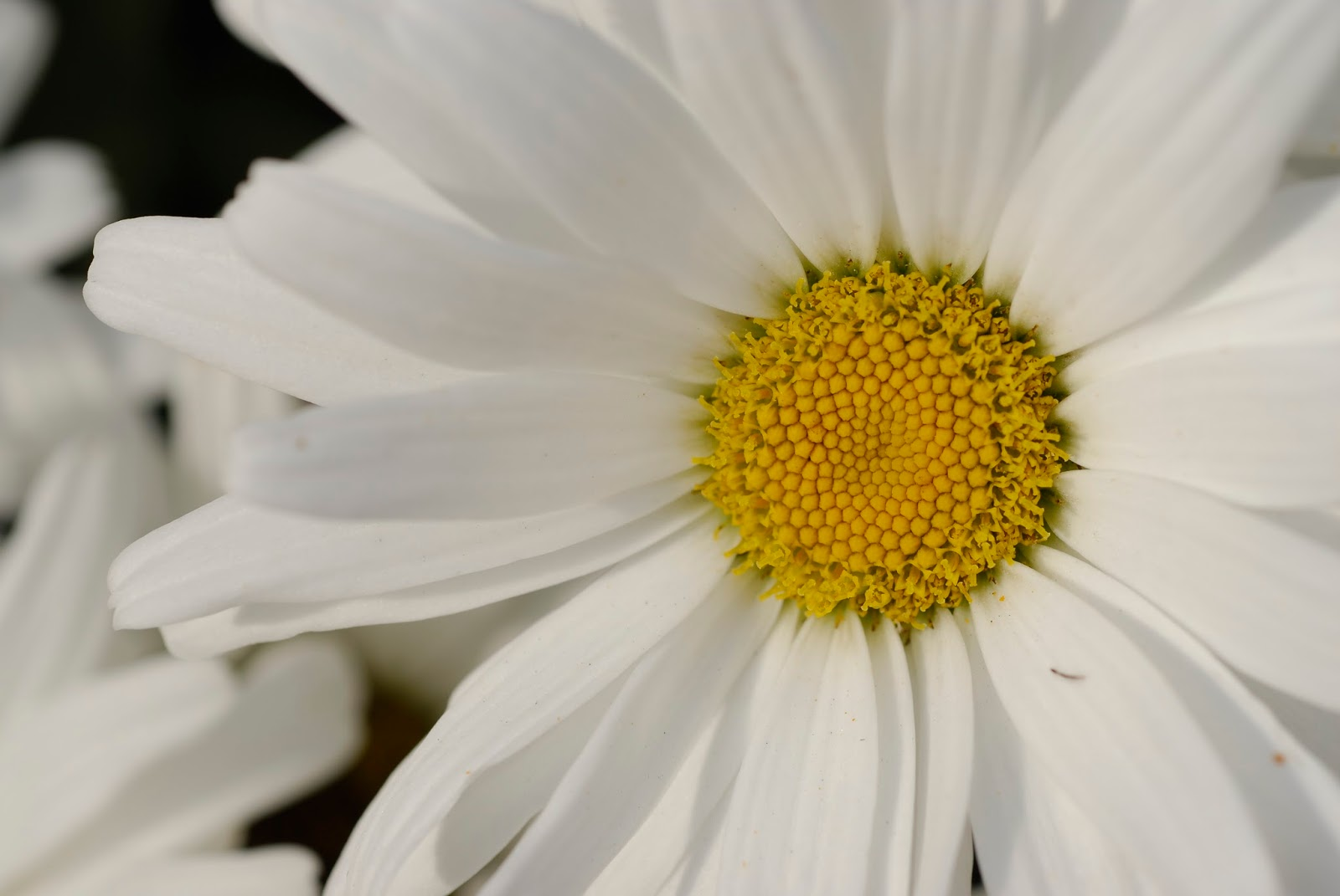 Floral boom a daisy simple but brilliant a daisy simple in its beauty but a lustrous brilliance in white the daisys meaning reflects purity and innocence so common a flower izmirmasajfo