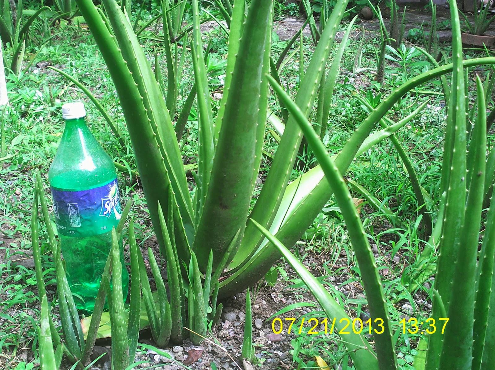 Maning garden aloe vera aloe barbadensis miller for Aloe barbadensis